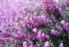 Flores da urze Foto de Stock Royalty Free