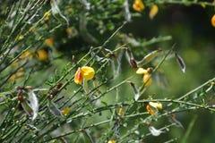 Flores da vassoura imagem de stock