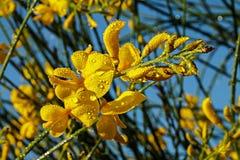 Flores da vassoura espanhola Fotografia de Stock