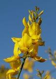 Flores da vassoura espanhola Foto de Stock Royalty Free
