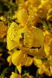 Flores da vassoura espanhola Fotografia de Stock Royalty Free