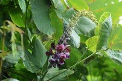 Flores da videira de Kudzu fotografia de stock