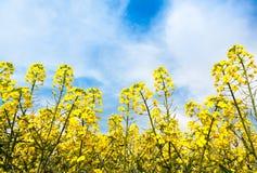Flores da violação Foto de Stock