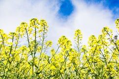 Flores da violação Fotografia de Stock Royalty Free