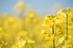 Flores da violação na mola da estação Campo amarelo fotos de stock royalty free