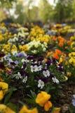 Flores da viola Imagem de Stock Royalty Free