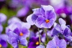 Flores da viola no jardim Imagens de Stock Royalty Free