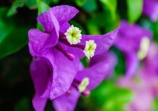 Flores 1 da violeta Imagens de Stock