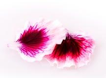 Flores da violeta e do gerânio Foto de Stock Royalty Free