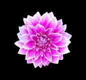 Flores (dalia) Imagenes de archivo