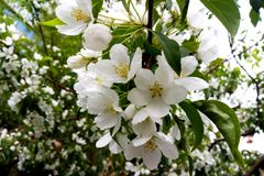 Flores das árvores de Apple fotografia de stock royalty free