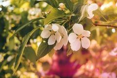 Flores das árvores de Apple a peça do semente-rolamento de uma planta, consistindo nos estames dos órgãos reprodutivos e carpelos imagem de stock royalty free