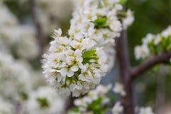 Flores das árvores de Apple a peça do semente-rolamento de uma planta, consistindo nos estames dos órgãos reprodutivos e carpelos Foto de Stock
