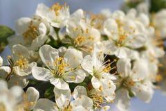 Flores das árvores de maçã de florescência 7 foto de stock royalty free
