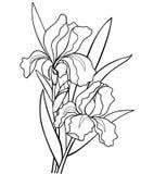 Flores das íris com folhas Ilustração botânica A lápis desenho Para colorir fotos de stock