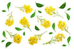 Flores das bérberis com as folhas isoladas no fundo branco Fotos de Stock Royalty Free
