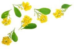 Flores das bérberis com as folhas isoladas no fundo branco Foto de Stock Royalty Free