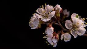 Flores das flores brancas filme