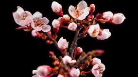 Flores das flores brancas nos ramos Cherry Tree video estoque