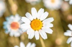 Flores das camomilas de campo próximas acima do fundo da flor imagem de stock