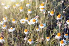 Flores das camomilas de campo pr?ximas acima do fundo da flor foto de stock