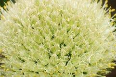 Flores das cebolas verdes Imagens de Stock Royalty Free