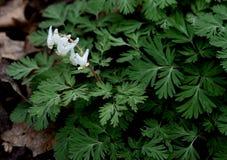 Flores das culatras do ` s do holandês e finamente folhas brancas brilhantes do verde do corte em uma floresta da mola Imagens de Stock