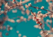 Flores das flores de cerejeira em um dia de mola foto de stock royalty free
