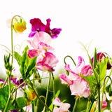 Flores das ervilhas doces Imagens de Stock