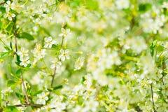 Flores das flores de cerejeira Fotografia de Stock Royalty Free