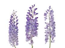 Flores das glicínias fotos de stock royalty free