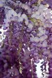 Flores das glicínias Fotografia de Stock Royalty Free