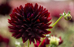 Flores das horas de verão na flor Imagens de Stock Royalty Free