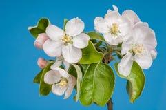 Flores das maçãs brancas com as folhas verdes no fundo azul fotografia de stock royalty free