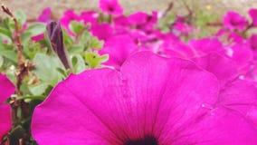 Flores das mamães Imagens de Stock