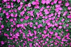 Flores das margaridas brancas Imagem de Stock Royalty Free