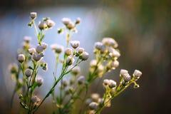 Flores das margaridas do prado que florescem no dia ensolarado Foto de Stock Royalty Free