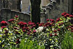 Flores das montanhas em Cáucaso Imagem de Stock Royalty Free