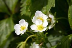 Flores das morangos Fotografia de Stock Royalty Free