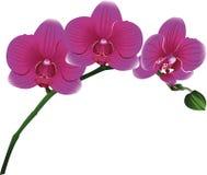 Flores das orquídeas Imagem de Stock