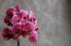 Flores das orquídeas, no fundo escuro fotografia de stock royalty free