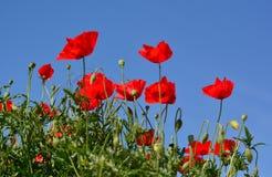 Flores das papoilas Foto de Stock Royalty Free