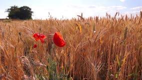 Flores das papoilas no campo de trigo filme