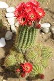 Flores das plantas carnudas Imagem de Stock Royalty Free