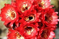 Flores das plantas carnudas Imagens de Stock Royalty Free