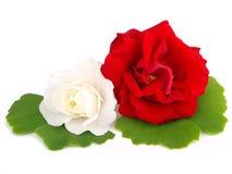Flores das rosas Imagens de Stock