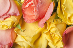 Flores das rosas Imagens de Stock Royalty Free