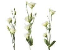 Flores das rosas brancas ajustadas Imagens de Stock