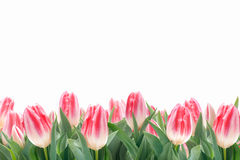 Flores das tulipas da mola na grama verde Imagem de Stock Royalty Free