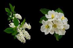 Flores de árvores do lilás e de maçã em um fundo preto imagens de stock